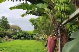 banana2 iwc 272x182